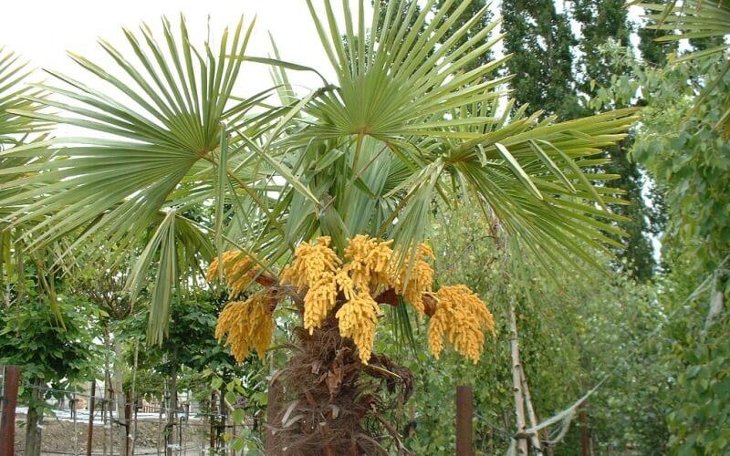 Хамеропс, фото с плодами