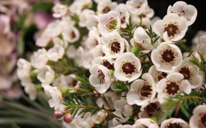 Хамелациум – ароматная цветущая ель