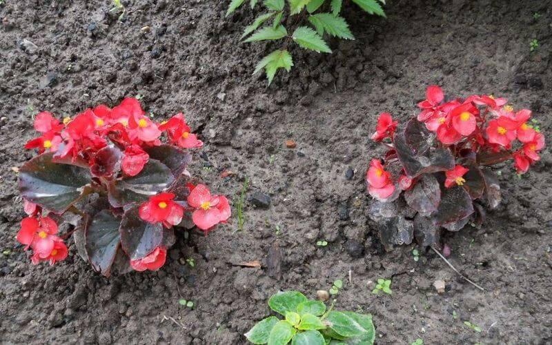 Фото цветов бегонии вечноцветущей