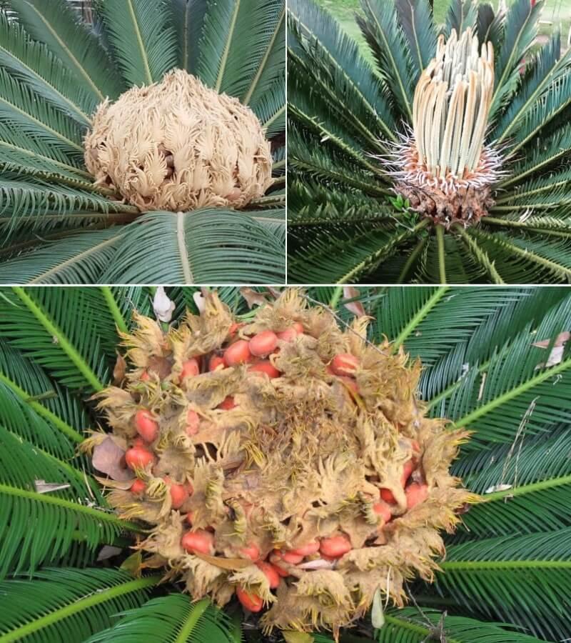 Фото цветения цикаса