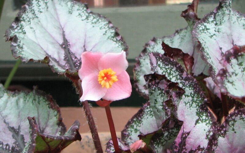 Фото цветения бегонии королевской