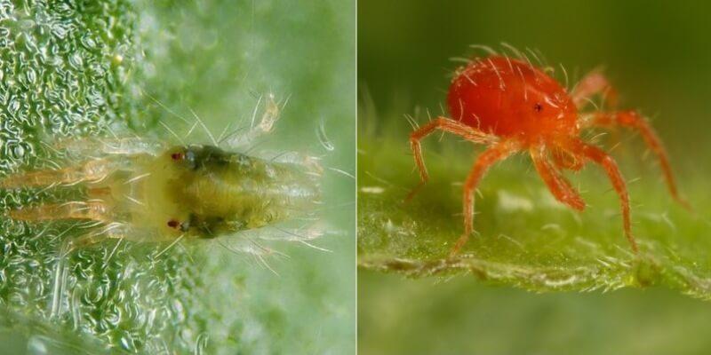 На фото паутинный клещ обыкновенный и красный